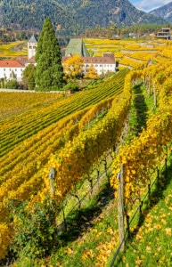 466394809-Hillside vineyards in autumn in Alto Adige, low res