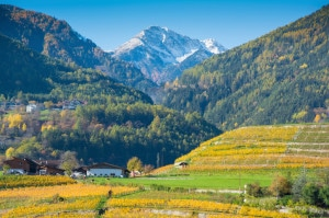469042687-Vineyards in autumn in Valle Isarco, Alto Adige, low res