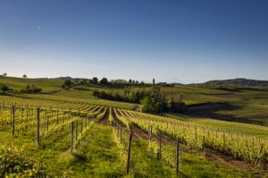491665485-Piedmont vineyard