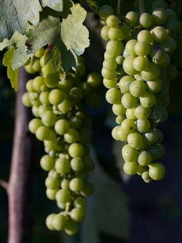 Grapes-Fiano