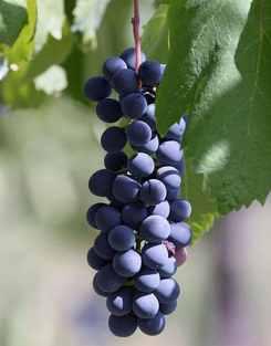 Grapes-Piedirosso