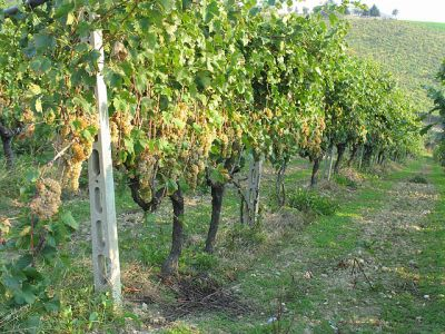 Grapes-Trebbiano row