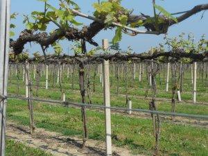 Lambrusco vines, Cleto Chiarli 3
