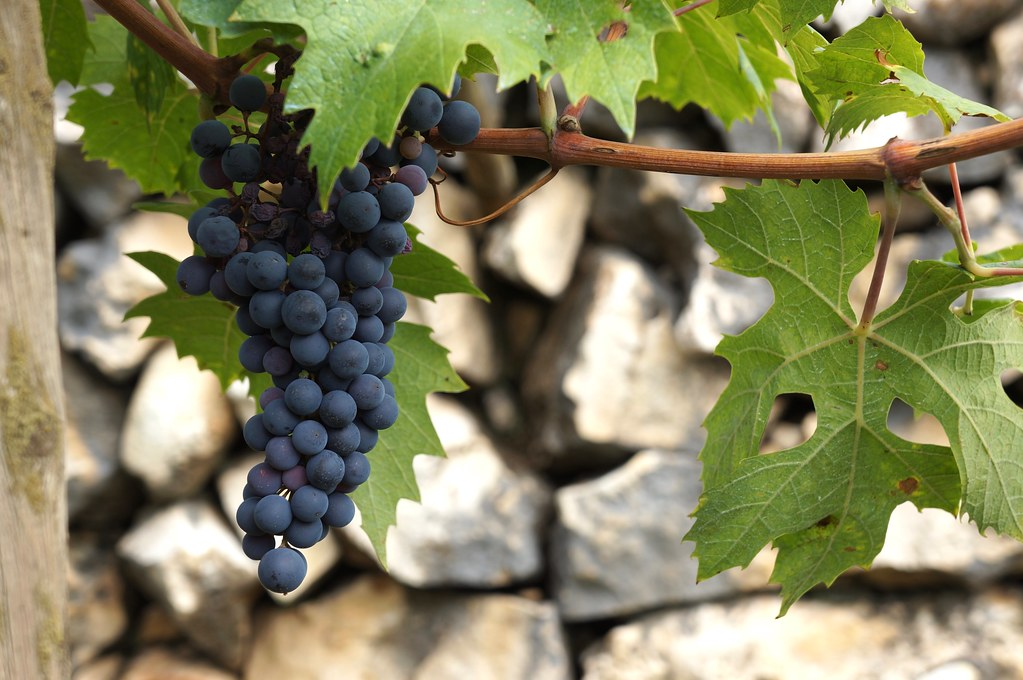 valpolicella-grape-italy4golf