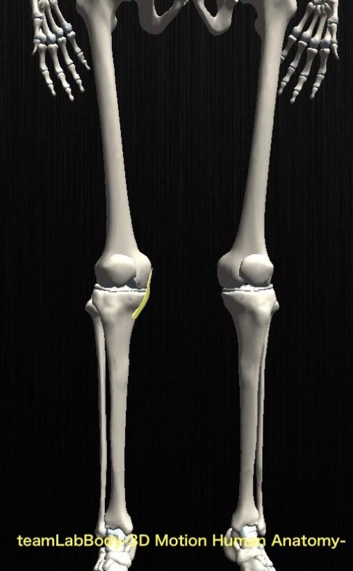 内側側副靭帯