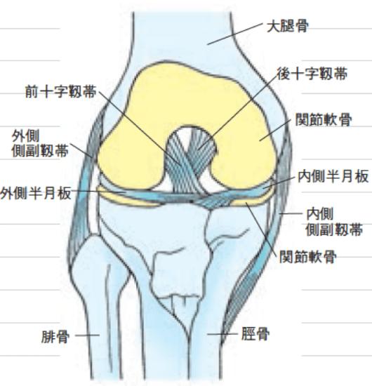 膝イラスト