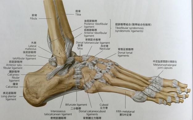 足部 靱帯 外側