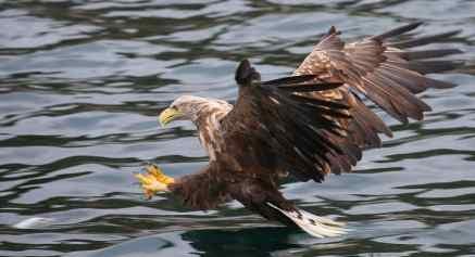 Sans la dextérité et l'appareil photo perfectionné de Steinar, il aurait été difficile de saisir l'instant où l'aigle descend en piqué pour se saisir du poisson.