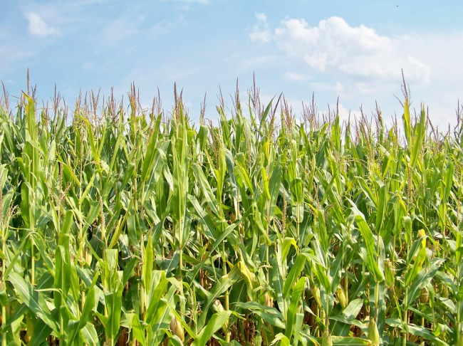 Кукуруза – продукт питания и в то же время сырье для биотоплива