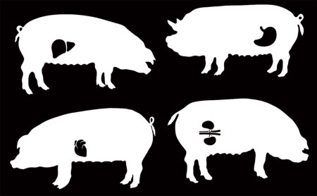 Американские ученые хотят выращивать человеческие органы внутри свиней