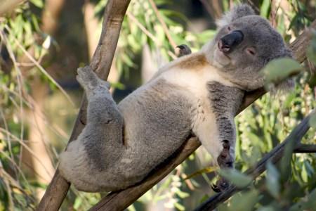 Австралийские ученые начали использовать дроны для подсчета количества коал