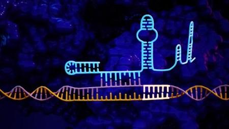 Учёные предлагают использовать «РНК-шпильку» в CRISPR-системах для более точного редактирования генома
