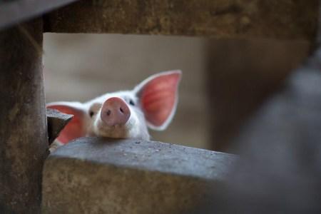 Кожу ГМ-свиньи впервые пересадили человеку