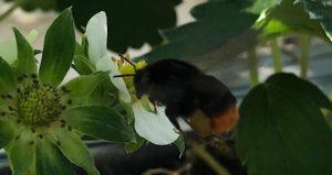 ミツバチ_蜂蜜_いちご狩り_いちごの杜