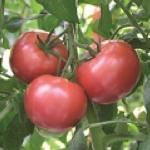 トマト 直売 いちご狩り 子供