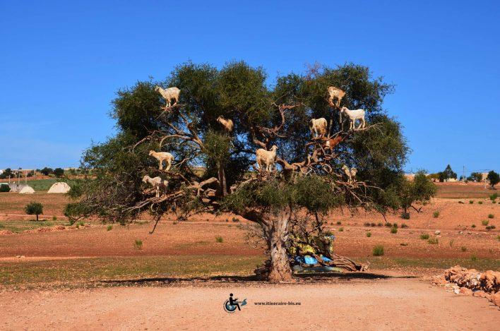 Les chèvres ne sont pas mis de force d'ans l'arbre. Elles aiment grimper et y vont volontairement.