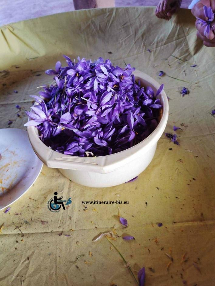 Le crocus sativus donne le safran