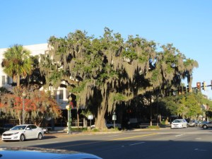 Spanish Moss in Brunswick