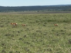 Pronghorn, Antelope, Utah