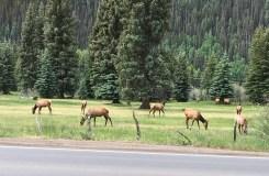 Elk, Telluride Colorado