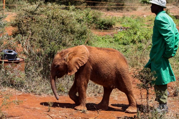 a baby elephant at the David Sheldrick Wildlife Trust in Nairobi