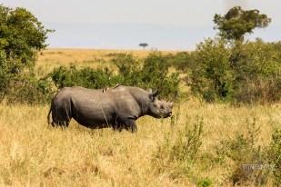 the elusive black rhino in Masai Mara, Kenya