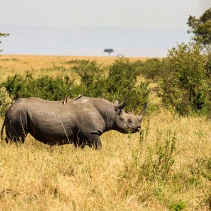 the elusive black rhino in Masai Mara, Kenya