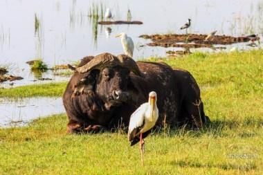 a buffalo, a stork and other birds at Nakuru Lake