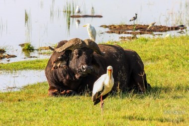 a buffalo, a stork and other birds at Nakuru Lake