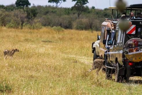 cheetah getting very close to safari vehicles in Masai Mara