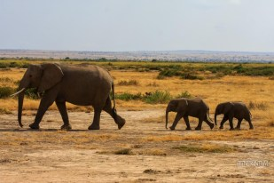 Elephant mother and two babies-Amboseli, Kenya