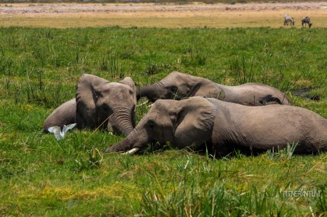 Elephants grazing in Lake Amboseli