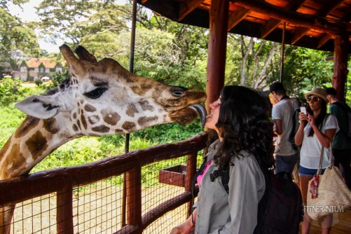 a giraffe licking a girls face