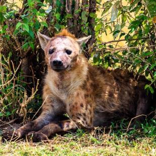 a hyena resting in a bush in Masai Mara, kenya