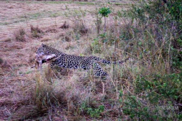 a leopard running away with its kill in a Masai Mara safari