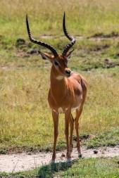 Large male impala in Lake Nakuru, Kenya