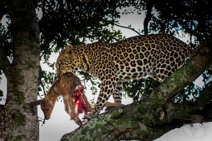 a leopard with a half eaten antelope in a tree in Masai Mara