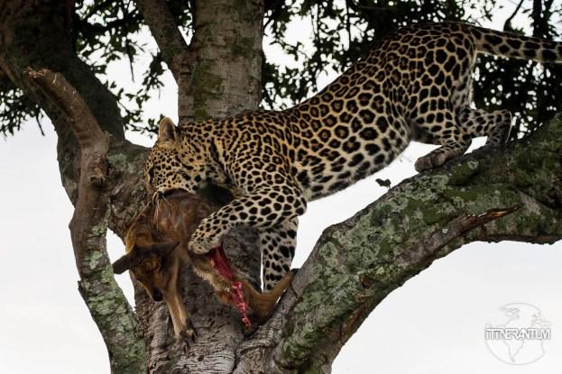 a leopard with a kill in a tree in a safari