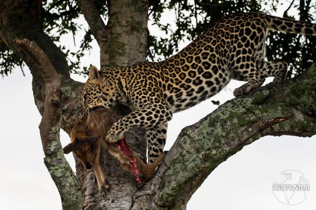 a leopard with a kill in a tree in a safari