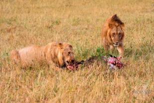 a couple of lions feeding on a carcass in Masai Mara, Kenya