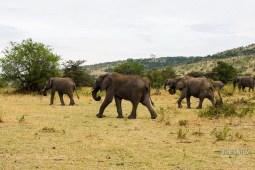 Small elephant herd in Masai Mara National Park