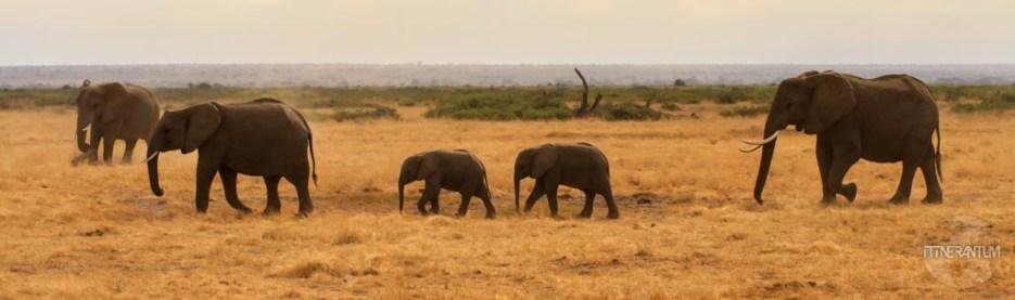 An older female elephant leads her family in Kenya's Amboseli National Park