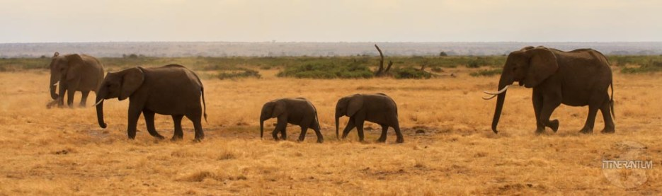 An older female elephant leads her family in Kenya's Amboseli National Park