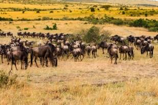 Vast plains of Masai Mara with a big herd of wildebeest