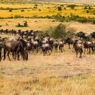 Vast plains of Masai Mara with a big herd of wildebeest