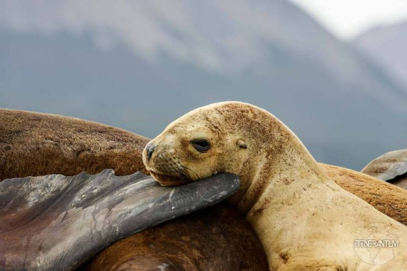 Beagle-channel-patagonia-sea-lion (5)
