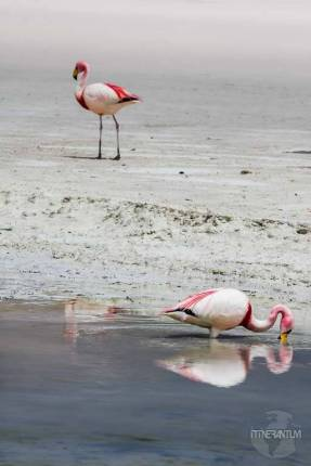 pink flamingos Salar de Uyuni 3 day trip