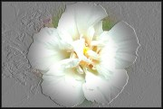 Embossed Magnolia