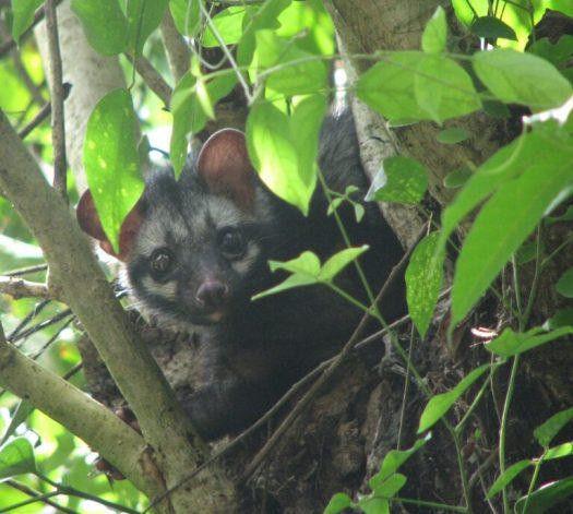 An Asian palm civet