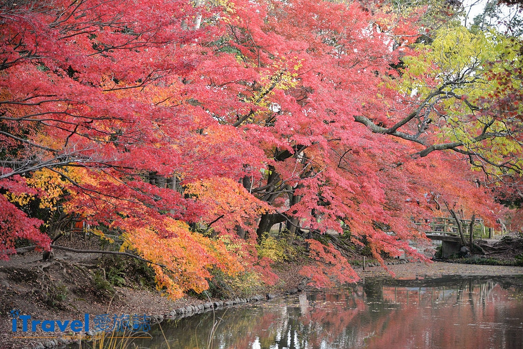 《京都賞楓景點》京都府立植物園秋色美景,適合親子家庭旅行來訪
